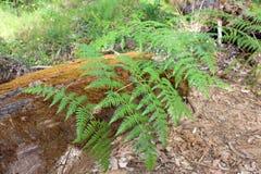 Art västra Australien för bräkenfernPteridium Arkivbild