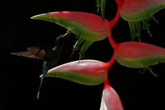 Art view of hummingbird with flower. Back light with bird in fly. Hummingbird Green Hermit flying next to beautiful red flower wit Royalty Free Stock Image