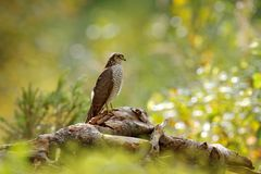 Art view of nature. Beautiful forest with bird. Birds of prey Eurasian Sparrowhawk, Accipiter nisus, sitting on tree stump. Hawk i