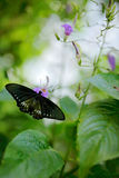 Art view on nature. Butterfly in green vegetation. Female Papilio pilumnus, butterfly in the nature green forest habitat, South of Royalty Free Stock Photos