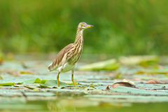 Art view of nature. Heron from march. Heron from Asia. Indian Pond Heron, Ardeola grayii grayii, in the nature swamp habitat, Sri Stock Image