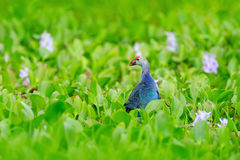 Art view of nature. Purple Swamphen, Porphyrio porphyrio, in the nature green march habitat in Sri Lanka. Rare blue bird with red Stock Photos