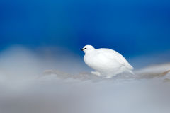 Art view of nature. Rock Ptarmigan, Lagopus mutus, white bird sitting on the snow, Norway. Cold winter in north of Europe. Wildlif Royalty Free Stock Photography