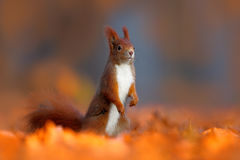 Art view on wild nature. Cute red squirrel with long pointed ears eats a nut in autumn orange scene with nice deciduous forest in Stock Image