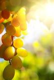 Art vineyard background; summer Grape fruit Stock Photography