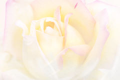 Art vintage background rose flower watercolor Stock Photography
