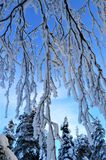 Art of winter. Frosty branches meets spruces. Frosty branches meets spruces with beautiful colored sky on background. Art of winter stock image