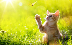 Art Young cat / kitten hunting a butterfly with Back Lit Royalty Free Stock Photo