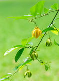 Artabotrys hexapetalus Flower Wallpaper, Yellow flower of Bhanda Royalty Free Stock Images