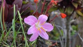 Artabotrys hexapetalus flowers stock video
