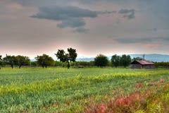 Artashat, Armenia. A field of wheat in Artashat, Armenia Stock Photo