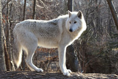 Artctic Grey Wolf. A beautiful Artctic Grey Wolf watching Royalty Free Stock Image