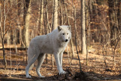 Artctic Grey Wolf Royalty Free Stock Photos