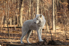 Artctic Grey Wolf Royalty Free Stock Images