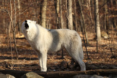 Artctic Grey Wolf howling Royalty Free Stock Image