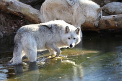 Artctic Grey Wolf with reflection Stock Photography