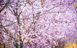 Arte de la flor de cerezo Foto de archivo libre de regalías