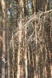 Arte de los pinos Imagenes de archivo