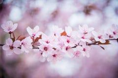 Arte del fiore di ciliegia Fotografia Stock
