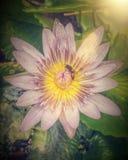 Arte del loto rosado Imagenes de archivo