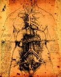 Arte di anatomia Fotografie Stock Libere da Diritti
