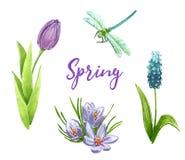Arte di anello di serraggio fissata con il tulipano, il muscari, il croco e la libellula porpora illustrazione di stock