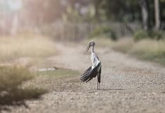Arte do pássaro dos oscitans do Anastomus da imagem Fotografia de Stock