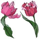 Arte grabado tulipán de la tinta del vector Flor botánica floral Wildflower de la hoja de la primavera Elemento aislado del ejemp ilustración del vector