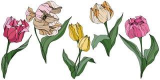 Arte grabado tulipán de la tinta del vector Flor botánica floral Wildflower de la hoja de la primavera Elemento aislado del ejemp stock de ilustración