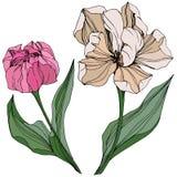 Arte grabado tulipán de la tinta del vector Flor botánica floral Wildflower de la hoja de la primavera Elemento aislado del ejemp libre illustration