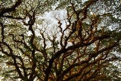 Arte natural del árbol de lluvia en la estación del dryr imagenes de archivo