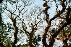 Arte natural del árbol de lluvia en la estación de verano foto de archivo