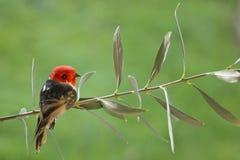 Arte-pájaro-aceituna-rama Foto de archivo libre de regalías