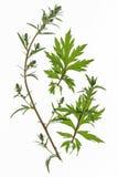 Artemisa (artemisia vulgaris) Imágenes de archivo libres de regalías