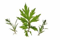 Artemisa común (artemisia vulgaris) Imagen de archivo libre de regalías