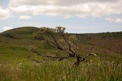 Artemisa de los bonsais Fotografía de archivo