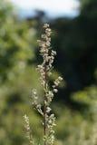 Artemisa o ajenjo común (artemisia vulgaris) Foto de archivo