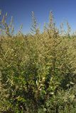 Artemisa vulgaris, εγκαταστάσεις αλλεργιογόνων στοκ εικόνα με δικαίωμα ελεύθερης χρήσης