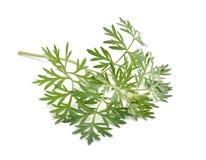 Artemisia άψηνθος που απομονώνεται στο άσπρο υπόβαθρο Στοκ Εικόνα