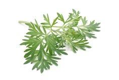 Artemisia άψηνθος που απομονώνεται στο άσπρο υπόβαθρο Στοκ φωτογραφία με δικαίωμα ελεύθερης χρήσης