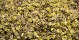 Artemisia άψηνθος Στοκ Φωτογραφία