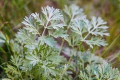 Artemisia άψηνθος & x28 άψηνθος, wormwood αψιθιάς, wormwood, γ Στοκ Εικόνες