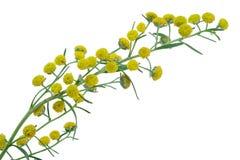 Artemisia αψήνθου άψηνθος Στοκ φωτογραφία με δικαίωμα ελεύθερης χρήσης