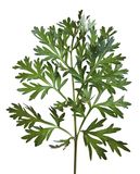 artemisia αψήνθου κοινό wormwood Στοκ Φωτογραφία