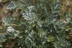 Artemisia εγκαταστάσεις αψήνθου Στοκ Εικόνες