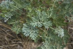 Artemisia εγκαταστάσεις αψήνθου Στοκ Φωτογραφία