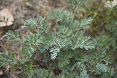 Artemisia στενός επάνω εγκαταστάσεων αψήνθου Στοκ Εικόνες