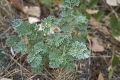 Artemisia στενός επάνω εγκαταστάσεων αψήνθου Στοκ Φωτογραφίες