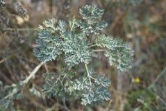 Artemisia στενός επάνω εγκαταστάσεων αψήνθου Στοκ φωτογραφία με δικαίωμα ελεύθερης χρήσης