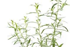 artemisia τραχούρι dracunculus Στοκ Φωτογραφίες